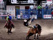 English: Saddle bronc riding; in rough stock events, the animal usually