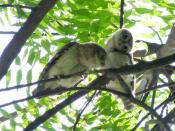 A pair of spotted owlet