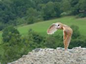 Barn Owl in flight Tyto alba. Français : Chouette effraie en vol en France (Pyrénées)(Tyto alba) Deutsch: Schleiereule im Flug(Tyto alba). Suomi: Tornipöllö (Tyto alba).