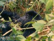 Mountain gorilla Virunga 21