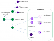 English: Derivation of white blood cells from stem cells