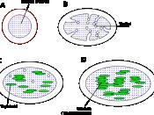 Chloroplast de