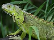 English: Iguana iguana seen in Fern Forest, Florida. This lizard was seen in the wild altough it is not a native species in the area. The green iguanas in the wild in Florida are probably former pets or ancestors of former pets that escaped or were releas