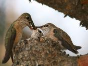 Calliope Hummingbird / Stellula calliope - female feeding two chicks