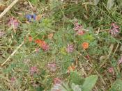 English: Scarlet Pimpernel in a cut cornfield.