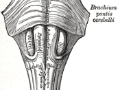 Anteroinferior view of the medulla oblongata and pons.
