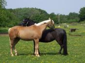 Gelding a male horse can reduce potential conflicts within domestic horse herds.