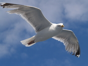 English: Flying Herring Gull (Larus argentatus) on the baltic sea (4)