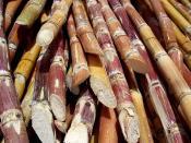 Venezuelan sugar cane (Saccharum) harvested for processing.
