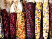 English: Cobs of corn
