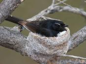 Willie Wagtail incubating its eggs