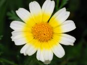 Crown Daisy Português: Malmequer, pimpilho