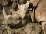 Black Rhino at Taronga zoo, Sydney, Australia