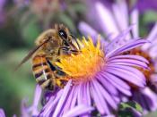 A European honey bee (Apis mellifera) extracts nectar from an Aster flower using its proboscis.