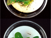 Top: Lesser cornstalk borer larvae extensively damaged the leaves of this unprotected peanut plant. (Image Number K8664-2)-Photo by Herb Pilcher. Bottom: After only a few bites of peanut leaves of this genetically engineered plant (containing the genes of