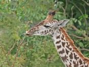 A juvenile giraffe (giraffa camelopardalis tippelskirchi), 8–9 feet (2.4–2.7 m) tall, eating leaves. Pictured in Tanzania in a zoo