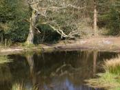 English: Rushy Pond, Black Heath This pond is on the highest part of Black Heath, on the edge of Puddletown Forest. There has been some clearance of scrub and rhododendron from around the pond as part of the