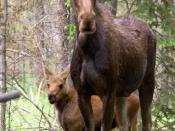 Moose cow and calf, Rocky Mountain National Park
