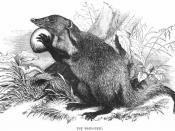 Mongoose, or Mangouste as depicted in the 1851 Illustrated London Reading Book