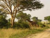 English: Uganda, Murchison Falls, giraffe, northern side of Nile