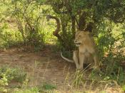 English: Uganda, Murchison Falls, lion