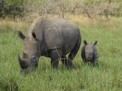 English: Uganda, Murchison Falls, Rhinos (bread in the Rhinos Sanctuary south of park)