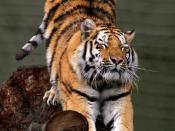 Siberian tiger (Panthera tigris altaica), Aalborg Zoo, Denmark. Français : Tigre de Sibérie (Panthera tigris altaica), Zoo d'Aalborg, Danemark. Русский: Потягушечки зажмурившегося амурского тигра на пне.