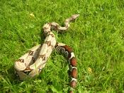 English: Snake, boa constrictor guyana red tail
