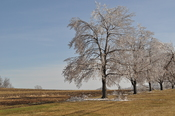 English: Trees encased in ice after a winter storm along in .