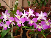 മലയാളം: orchids are the largest and most diverse of flowering plants