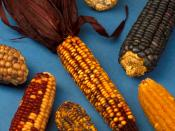 Examples of the diversity of maize.