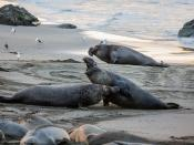 These alpha males elephant seals battle over territory.  from sequence of 13 images over 8 minutes