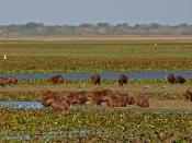 English: A group of capybaras at Hato La Fe in the Los Llanos region of Venezuela. Category:Images of rodents
