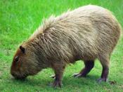 English: Photo of a Capybara, formatted (and sized) as a widescreen computer desktop background.