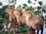 Young Capybara (Capivara in Portuguese) (Hydrochoerus hydrochaeris) Fazenda do Rio Negro, Pantanal, Brazil. Photographed on 8 August 1977