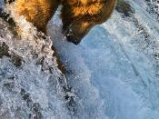English: Grizzly Bear (Ursus arctos horribilis) catching salmon at Brooks Falls in Katmai National Park, Alaska.