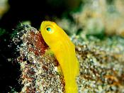 Yellow Clown Goby, North Sulawesi