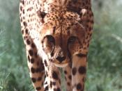 English: One of the non-releasable cheetahs residing at CCF. Author: P. Tricorache.