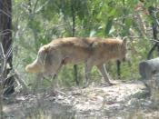 This Dingo wandered through looking for a meal. The tail shows it is a Dingo but it has been suggested that the colouring is incorrect and it is probably crossbred with a domestic dog. Could be Canis lupus dingo or maybe C. familiaris dingo due to the bre
