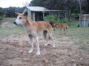 Dingoes at Fraser Island, Queensland, Australia