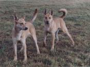 English: Zwei Carolina Dogs