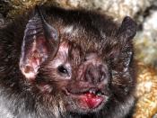 English: The common vampire bat, Desmodus rotundus (Mammalia: Chiroptera: Phyllostomidae: Desmodontinae).