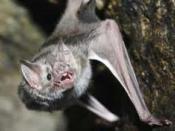 Nedersaksisch: Vampiervleermuis (desmodus rotundus)