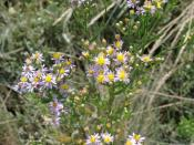 English: Aster tripolium 1469229 is a salt tolerant perennial plant found all around Britain's coast especially in salt-marsh and on sea cliffs.
