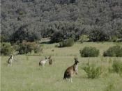 English: Kangaroos eating pasture