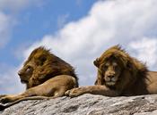 English: Close-up on a pair of male lions basking in the sun on a rocky outcrop in the Serengeti National Park, Tanzania Español: Acercamiento a un par de leones machos tomando el sol en un afloramiento rocoso en el Parque Nacional de Serengeti, Tanzania
