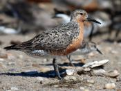 English: Red Knot, Calidris canutus, at Mispillion Harbor, Delaware.