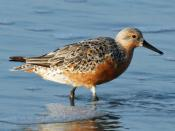 English: Red Knot (Calidris canutus)