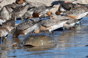 English: Red Knot feeding on eggs of Horseshoe crabs. Mispillion Harbor, Delaware