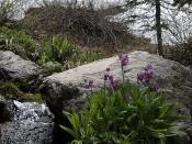 Parry's primrose
